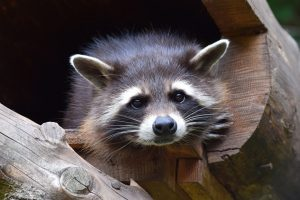 RACCOON (14)