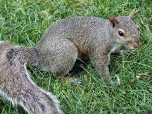 SQUIRREL (12)