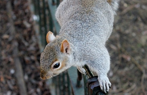 SQUIRREL (8)