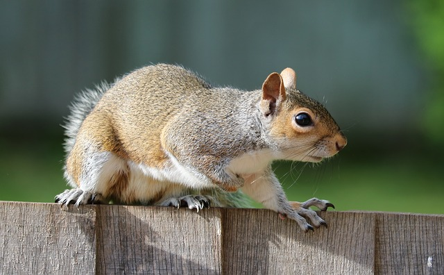 squirrel-1401509_640