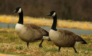 geese (1)