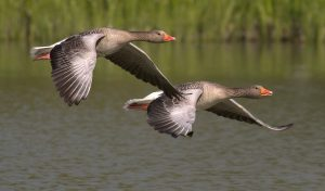 geese (2)